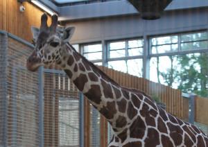 20131227 giraffe