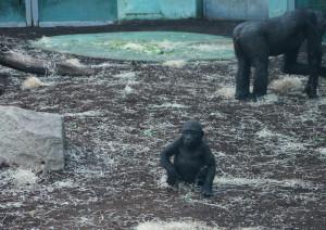 20131227 gorilla